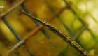 Syngnathus taenionotus